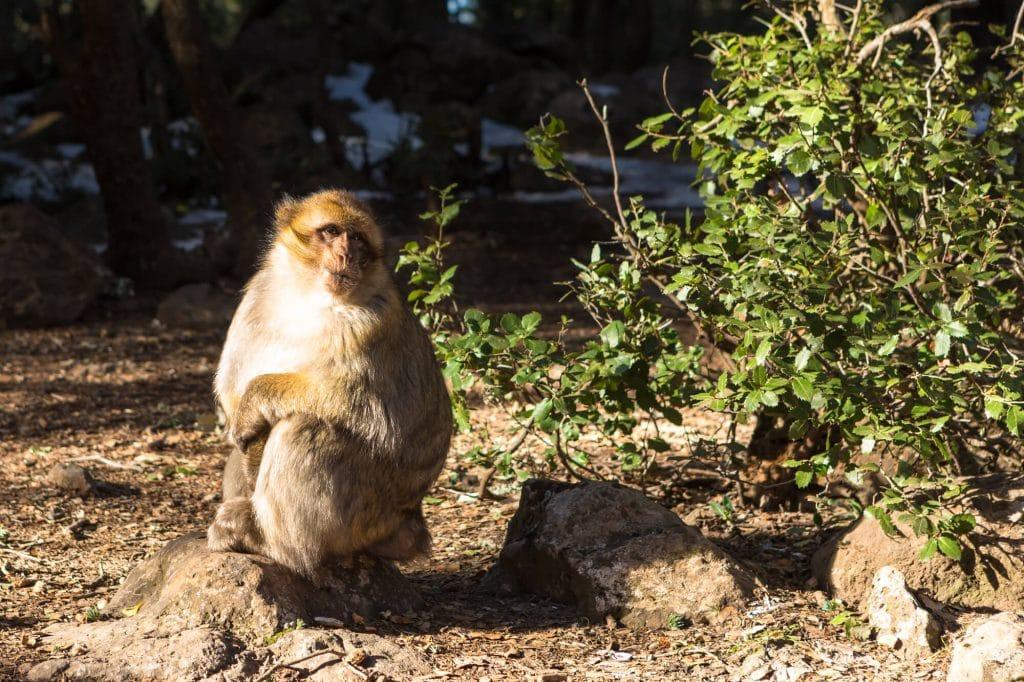 קופים בעיר איפראן, מרוקו